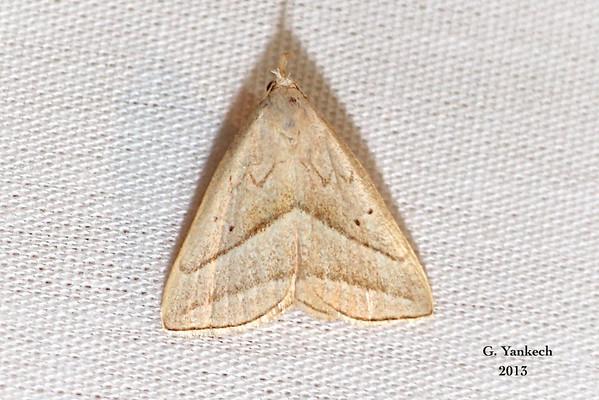 Slant-lined Owlet, Macrochilo absorptalis