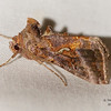 Common Looper, Autographa precationis