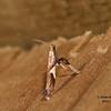 Poplar Caloptilia, Caloptilia stigmatella<br /> <br /> Identification confirmed  (BAMONA)