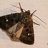 Bristly Cutworm, Lacinipolia renigera