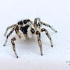 Zebra spider, Salticus scenicus