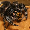 Bold Jumping Spider, Phidippus addax,  eating its prey<br /> <br /> Bold Jumping Spiders do not spin webs but actively hunt for their food by laying in ambush.