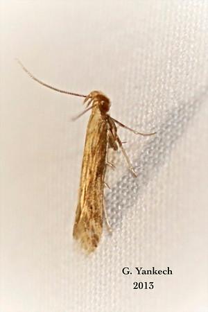 Burdock Seedhead Moth,  Metzneria lapella