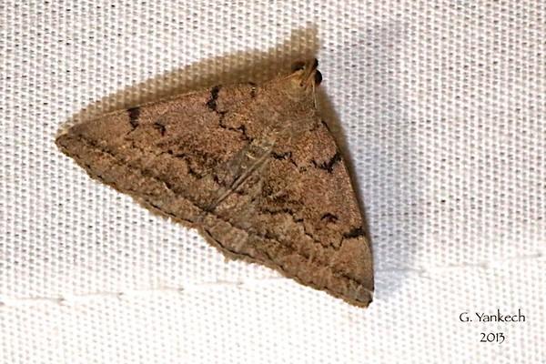 Zanclognatha dentata<br /> <br /> Identification confirmed (BAMONA)