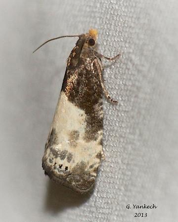 possibly Dirty Notocella, Notocelia cynosbatella<br /> <br /> Identification pending