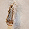 Elegant Grass-veener, Microcrambus elegans