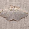 Lesser Maple Spanworm,  Speranza pustularia