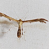 Lobed Plume Moth, possibly Dejongia lobidactylus<br /> species identification may be unidentifiable