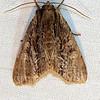 Black-dashed Apamea moth, Apamea nigrior