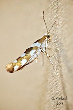 Bronze Alder Moth, Argyresthia goedartella