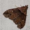 Ambiguous Moth (male), Lascoria ambigualis
