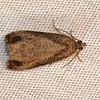 Olethreutes merrickanum<br /> <br /> Identification  confirmed (BAMONA)<br /> <br /> Olethreutes merrickana (MPG)