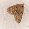 Common Idia Moth, Idia aemula
