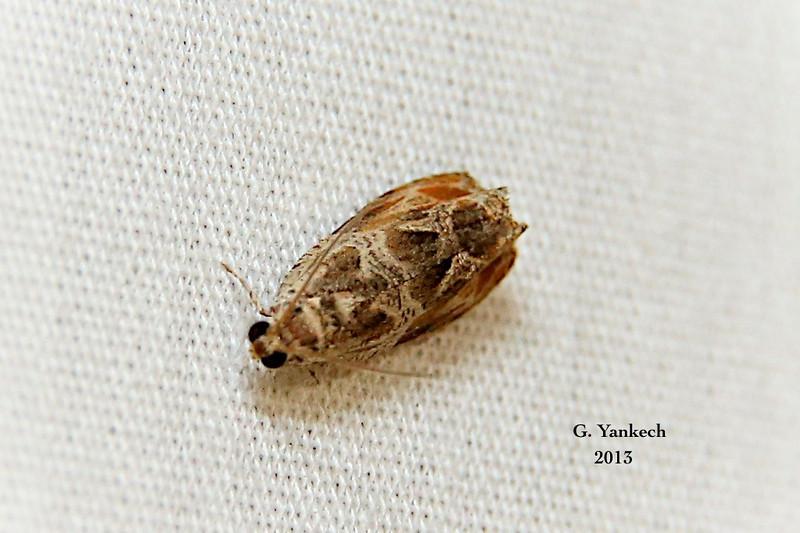 Basswood Olethreutes, Olethreutes tilianum<br /> <br /> Identification  confirmed BAMONA