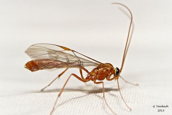 Short-tailed Ichneumon Wasps (Ophion), Species undetermined