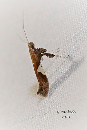 Unidentifiable Moth<br /> possibly Poplar Caloptilia, Caloptilia stigmatella