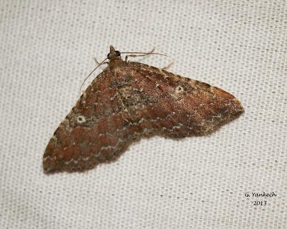 The Gem (female), Orthonama obstipata
