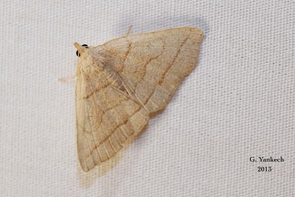 Early Zanclognatha (Fan-Foot) Moth, Zanclognatha cruralis