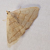 Early Zanclognatha (Fan-Foot) Moth, Zanclognatha cruralis