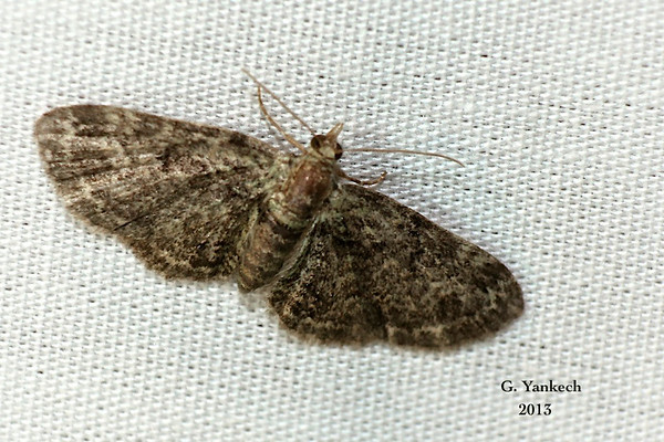 Green Pug moth, Pasiphila rectangulata