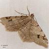 Hemlock Angle, Macaria fissinotata
