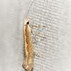 Diamondback Moth, Plutella xylostella