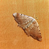 Minor Angle moth ,  Macaria minorata