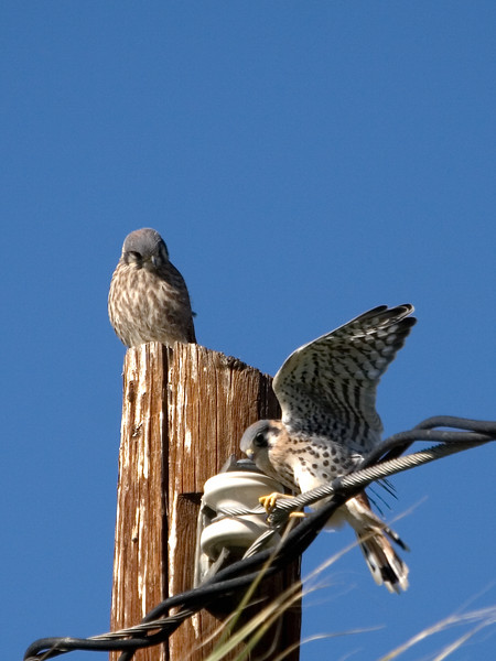Backyard Kestrels 2007