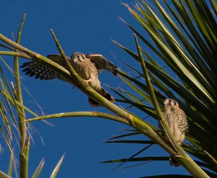 Backyard Kestrels 2010