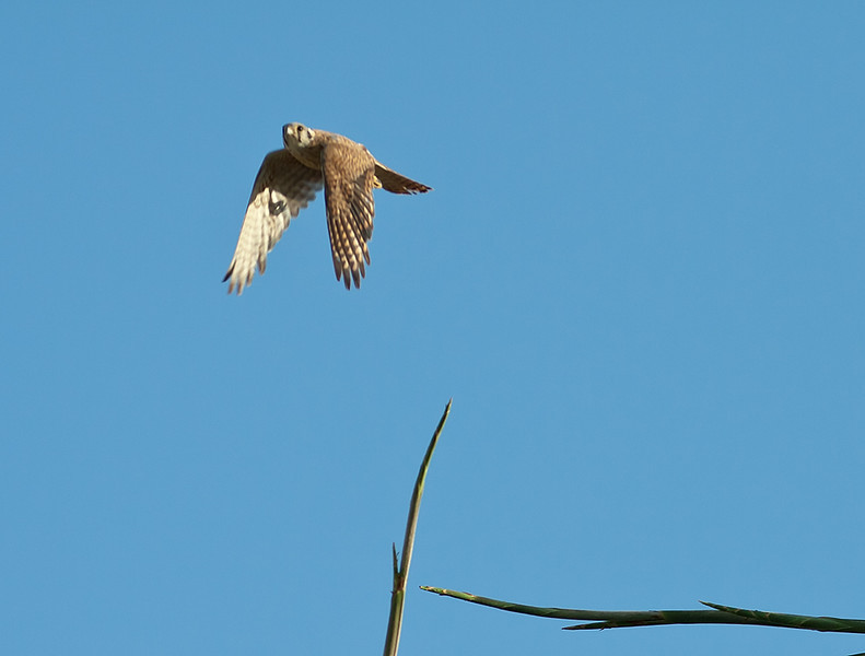 Backyard Kestrels 2012