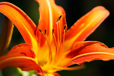 Lily Detail