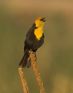 This Yellow-headed blackbird photograph was captured in Camas National Wildlife Refuge, ID (6/07).   This photograph is protected by the U.S. Copyright Laws and shall not to be downloaded or reproduced by any means without the formal written permission of Ken Conger Photography.