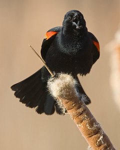 This photograph of a male Red-winged Blackbird was taken in Huntley Meadows in Alexandria, VA. If you look closely you can see some of the cattail's fluffy white seeds on his upper and lower bill that he was nibbling on prior to calling (3/07).  This photograph is protected by the U.S. Copyright Laws and shall not to be downloaded or reproduced by any means without the formal written permission of Ken Conger Photography.