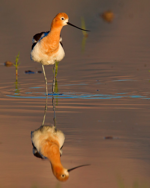 This photograph of an Avocet was captured in Bear River National Wildlife Refuge, Utah (6/11).   This photograph is protected by the U.S. Copyright Laws and shall not to be downloaded or reproduced by any means without the formal written permission of Ken Conger Photography.