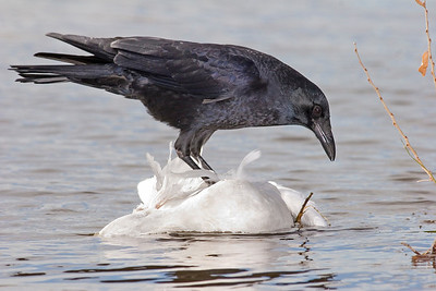 This photograph of a Crow on a dead floating Snow Goose was captured in Bosque Del Apache NWR in New Mexico (12/07).   This photograph is protected by the U.S. Copyright Laws and shall not to be downloaded or reproduced by any means without the formal written permission of Ken Conger Photography.