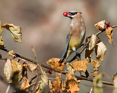This photograph of a Cedar Waxwing was captured in Shenandoah National Park, Virginia (10/13).  This photograph is protected by the U.S. Copyright Laws and shall not to be downloaded or reproduced by any means without the formal written permission of Ken Conger Photography.