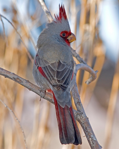 This Pyrrhuloxia photograph was captured in Bosque Del Apache NWR in New Mexico (12/07).   This photograph is protected by the U.S. Copyright Laws and shall not to be downloaded or reproduced by any means without the formal written permission of Ken Conger Photography.
