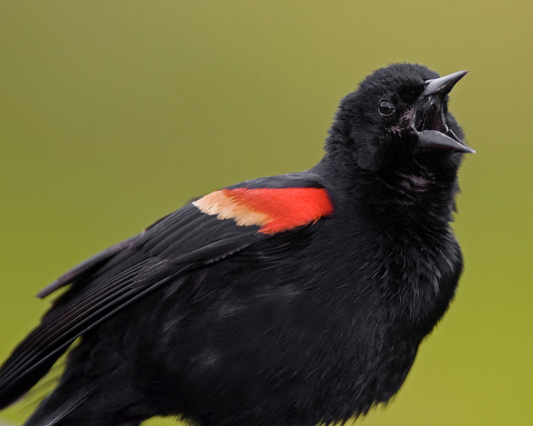 This Red-winged Blackbird was photographed in Wakodahatchee Wetlands Park, Florida (4/08).   This photograph is protected by the U.S. Copyright Laws and shall not to be downloaded or reproduced by any means without the formal written permission of Ken Conger Photography.