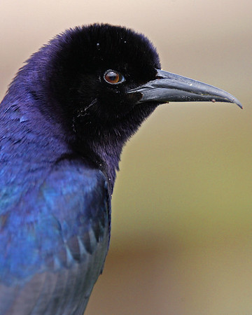 This photograph of a male Boat-tailed Grackle was captured in Wakodahatchee Wetlands, Florida (4/06).  This photograph is protected by the U.S. Copyright Laws and shall not to be downloaded or reproduced by any means without the formal written permission of Ken Conger Photography.