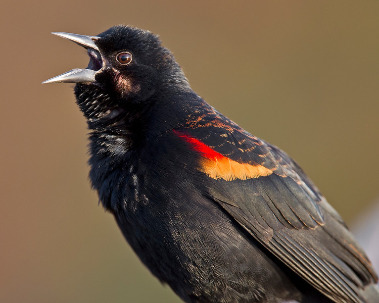 This photograph of a Red-winged Blackbird was captured in the Wakodahatchee Wetlands, Florida (1/11).     This photograph is protected by the U.S. Copyright Laws and shall not to be downloaded or reproduced by any means without the formal written permission of Ken Conger Photography.