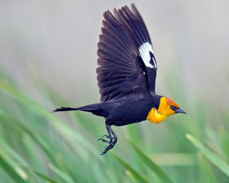 This photograph of a flying Yellow-headed Blackbird was captured in the Camas National Wildlife Refuge, Idaho (6/11).   This photograph is protected by the U.S. Copyright Laws and shall not to be downloaded or reproduced by any means without the formal written permission of Ken Conger Photography.