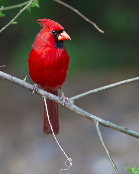 This photograph of a male Cardinal was captured in Laguna Atascosa National Wildlife Refuge, near Rio Hondo, Texas (4/11).       This photograph is protected by the U.S. Copyright Laws and shall not to be downloaded or reproduced by any means without the formal written permission of Ken Conger Photography.