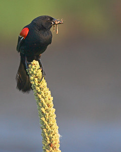 This photograph of a Red-winged Blackbird was captured at  Edwin B. Forsythe National Wildllife Refuge in New Jersey (8/06).  This photograph is protected by the U.S. Copyright Laws and shall not to be downloaded or reproduced by any means without the formal written permission of Ken Conger Photography.