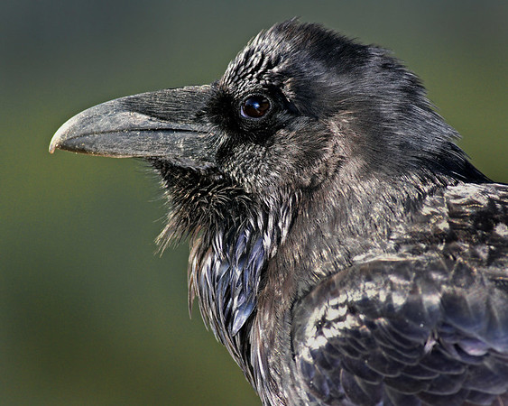 This Raven photograph was captured in Banff Provincial Park.  This photograph is protected by the U.S. Copyright Laws and shall not to be downloaded or reproduced by any means without the formal written permission of Ken Conger Photography.