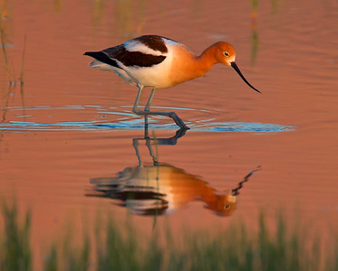 This sunset photograph of an Avocet was captured in Bear River National Wildlife Refuge, Utah (6/11).   This photograph is protected by the U.S. Copyright Laws and shall not to be downloaded or reproduced by any means without the formal written permission of Ken Conger Photography.