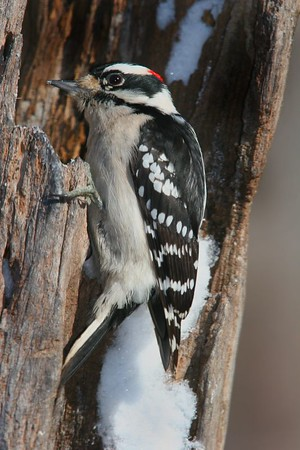 This photograph of Downy Woodpecker was taken in Lanexa, Virginia (1/05).  This photograph is protected by the U.S. Copyright Laws and shall not to be downloaded or reproduced by any means without the formal written permission of Ken Conger Photography.