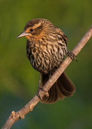 This photograph of a female Red-winged Blackbird was captured at Green Cay Wetlands in Boynton Beach, Florida (4/07).  This photograph is protected by the U.S. Copyright Laws and shall not to be downloaded or reproduced by any means without the formal written permission of Ken Conger Photography.