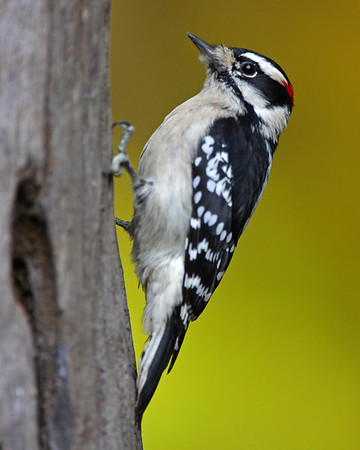 This photograph of Downy Woodpecker was taken in Lanexa, Virginia (11/06).  This photograph is protected by the U.S. Copyright Laws and shall not to be downloaded or reproduced by any means without the formal written permission of Ken Conger Photography.
