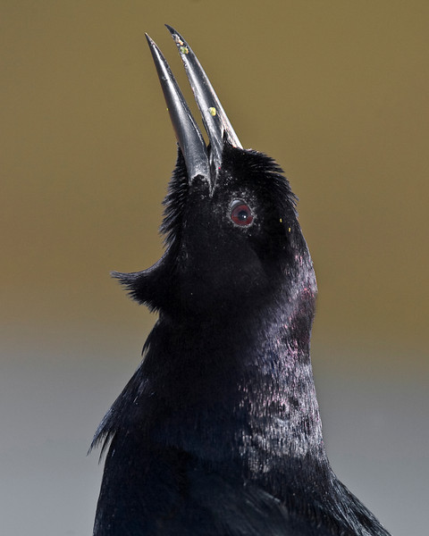This photograph of a Common Grackle was captured in a Green Cay Wetlands in Boynton Beach, Florida (12/08).   This photograph is protected by the U.S. Copyright Laws and shall not to be downloaded or reproduced by any means without the formal written permission of Ken Conger Photography.