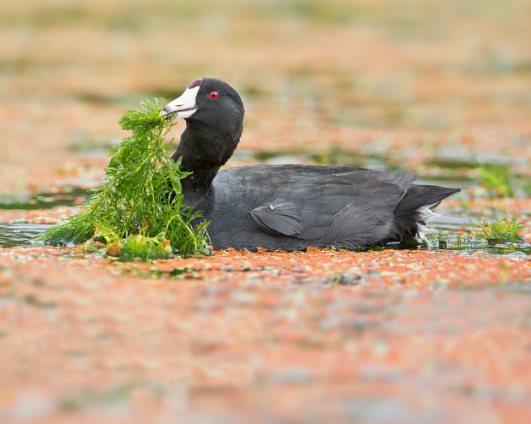 """This photograph of a Coot feeding on grass was captured in Viera Wetlands, Florida (2/13).  <FONT COLOR=""""RED""""><h5>This photograph is protected by the U.S. Copyright Laws and shall not to be downloaded or reproduced by any means without the formal written permission of Ken Conger Photography.<FONT COLOR=""""RED""""></h5>"""